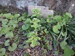 No.7 butterbur sprout