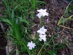 Fig.9 Iris japonica