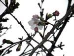 A cherry blossom.